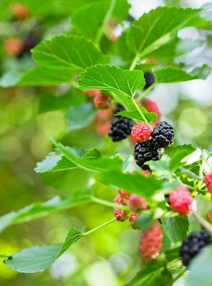 9f6d5cef74 Mulberry, also known as Morus fruit, comes from the same tree used to raise  silkworms, where the worms feed off the plant's leaves.