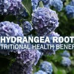 Hydrangea Root Nutritional Health Benefits